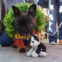The cutest chia pet you've ever seen. | 50 Adorable Reasons That 2013 Was The Year Of The French Bulldog
