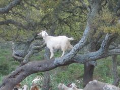 Wild goat - Giara di Gesturi  - Sardinia