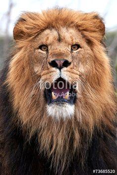 This photo was sold today @ fotolia by Adobe Lion (Panthera leo) #Wildlife #Animal https://eu.fotolia.com/id/73685520