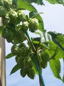 Hops  to grow for Home Beer Making