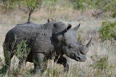4 Days Masai Mara and Lake Nakuru National Park Private Luxury Safari Aarhus, Best Canon Lenses, Wild Rhino, Rhino Poaching, Especie Animal, Animal Food, Parc National, National Parks, African Safari
