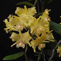 Dendrobium lowii | Canada's Largest Orchids On-line Store