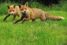 Foxes Running by Ami 211 on Flickr.