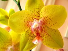 Ah the feminine Yellow Orchid, Nature Plants, Planting Flowers, Orchids, Bloom, Rose, Feminine, Women's, Pink