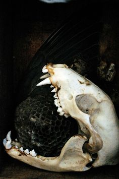 "wolftea: ""Non-credited photo. Raccoon skull & wasp nest, Source : Wolftea """
