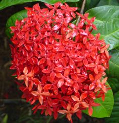 Ixora Flower. This was the flower that the logo mimics. It's BEAUTIFUL. It is also a very popular flower in the Virgin Islands.