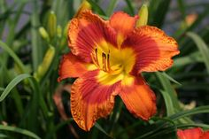 BOB'S RED TARGET  An electric orange flower with a large red eye and yellow throat which spills over onto the sepals. A stunning flower and an excellent rebloomer into the late midseason. 3-way branching; 13 buds. A Fooled Me kid.