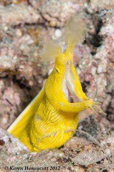 ˚Rhinomuraena  quaesita (Blue-Ribbon Eel) Saltwater Aquarium, Aquarium Fish, Ocean Creatures, Sea Fish, Salt And Water, Blue Ribbon, Natural World, Wildlife, Corals