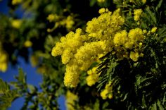 Le Mimosa, Fruit, Plants, Bouquets, Photos, Bunch Of Flowers, Acrylics, January, Yellow