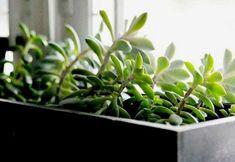Mi suculenta está demasiado alta: cómo podar una suculenta con tallo estirado? Cactus Y Suculentas, Planting Succulents, Terrarium, Garden Design, Entertaining, Gardening, Tips, Gardens, Vegetable Garden
