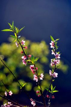 Wild peach blossoms lately in northwestern Vietnam  As the lunar New Year 2012 came one month earlier, wild peach trees in Moc Chau district, in the northern mountain province of Son La turn out to blossom lately. Wild peach flowers cover roofs, hills along the road to the Northwestern region, attracting thousands of visitors.  http://en.vietnamchemtech.com.vn/chitietTT.asp?cate_id=3_id=96