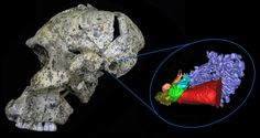 Scientists unravel how ancient hominids heard the world. #evolution