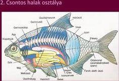 """Képtalálat a következőre: """"hal testfelépítése rajz"""""""