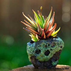 Haworthia subfasciata variegata by KKT in a Keith Kitoi Taylor pot