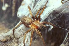 Many people suffer from arachnophobia, but not all spiders are harmful. Learn about the spiders of the United States, which are dangerous and which aren't. Common House Spiders, Types Of Spiders, Wild Animals Attack, Animal Attack, Survival Life, Wilderness Survival, Red Widow Spider, Hobo Spider, Huntsman Spider