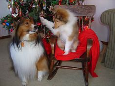 "Greta and Hansel My Shelties Awww! ""I'mma boop you on the nose!"""