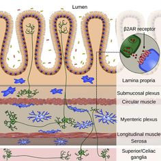Study finds neurons in gut regulate the immune system to control inflammation.