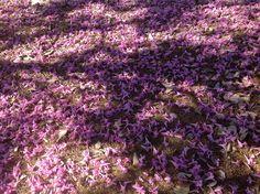 Florada dos Ipês no Campus Samambaia, Goiânia, Goiás. Um dia tapete de flores debaixo de cada árvore, lindo! Foto de Gilka Martins.