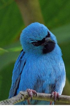 turquoise-honey-creeper
