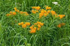 Noted: Great Design Plant: Butterfly Milkweed, a Beacon in the Prairie via Houzz | A Gardener's Notebook