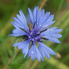 "Bachelor's Button (Centaurea cyanus). In the language of flowers: ""I have often made sport with love."" Symbolizes hope in love, single wretchedness, celibacy. Photo by Bohringer Friedrich."