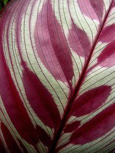 underside of leaf of peacock plant   omnia @ flickr