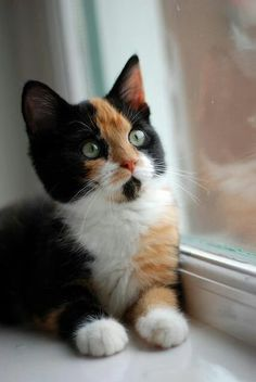 - - … Haustiere Calico kitten watching the birds. : A Calico cat is a tricolor cat. The tricolor fur of the calico cats is not a breed. It is a genetic mutation that takes place at the level of the animal's DNA. Pretty Cats, Beautiful Cats, Animals Beautiful, Beautiful Images, I Love Cats, Crazy Cats, Cool Cats, Cute Kittens, Black Kittens