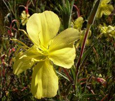 Flor de la hierba de San Juan, apetecida por sus propiedades medicinales