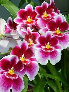 Miltoniopsis, a combination of two of my favourite flowers. Orchids and pansies. Exotic Flowers, Amazing Flowers, My Flower, Pretty Flowers, Orchid Flowers, Cactus Flower, Purple Flowers, Calla, Orchidaceae