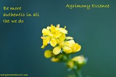 Agrimony essence deals with emotional honesty. It lends us freedom and self expression and teaches us to be more authentic in all that we do.