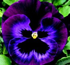 Neon Violet Pansy.  The fragrance of this flower is AMAZING.  There's also very hardy... still blooming here in Dallas.