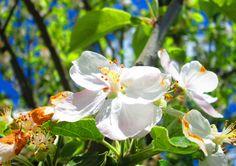 Flores de Manzano.