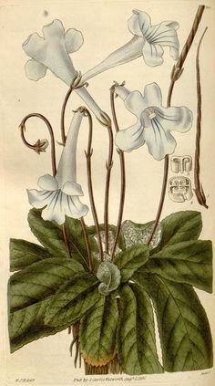 Cateppa illustration from Curtis's Botanical Magazine, 1830   BHL