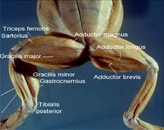 Cat Muscles Labeled | Cat Dissection Study Tools: Muscular System ...