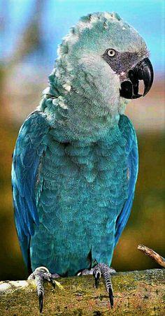 Endangered Spix's Macaw