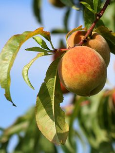 Peach tree - planting, care and pruning the tree, protecting if from fungus Tree Planting, Trees To Plant, Garden Landscaping, Garden Paths, Herbs Garden, Fruit Garden, Design Thinking, Peach Fruit, Summer Plants