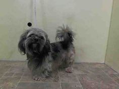 SAFE 6-1-2015 --- Manhattan Center PETER – A1037270  MALE, WHITE / BROWN, SHIH TZU, 6 yrs STRAY – EVALUATE, NO HOLD Reason STRAY Intake condition EXAM REQ Intake Date 05/23/2015