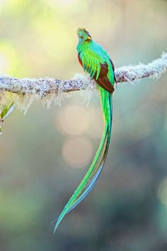 "Resplendent Quetzal 091208_180"" by Thomas Chamberlin"