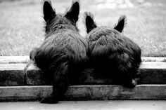 Scottish Terriers For more awesome dog pictures follow DOGTV!  Check out www.dogtv.com