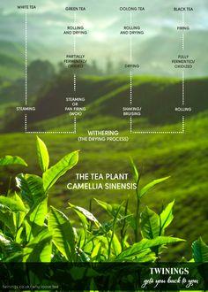 Tea facts and backgrounds. See what makes tea, tea. -Tea n Me