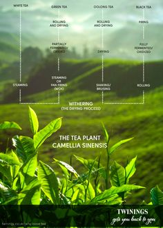 Tea is one of a handful of plants that have shaped the world. Countless lives have been enriched by it - and more than a few sacrificed for it. Across cultures and centuries, tea has been endlessly adapted, and reinvented. Fresh, yet timeless, tea is both the flavour of the moment, and the taste of the past. Tea may be steeped in history, but history is steeped in tea ...