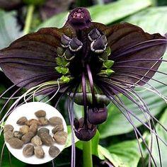 10Pcs Black Bat Tacca Chantrieri Cats Whiskers Flower Seeds Garden Bonsai Plant in Home & Garden, Yard, Garden & Outdoor Living, Plants, Seeds & Bulbs, Seeds & Bulbs, Perennial Seeds | eBay