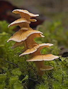 Pagoda fungus (Podoserpula pusio) ~ By MycoImage