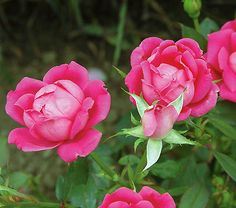 Rose Double Pink Knock Out. Rose Plants, Roses, Rose Flowers, Quality Roses, Pink Roses, Red Roses, Yellow Roses, White Roses.