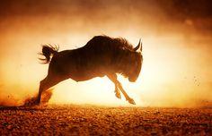 Blue wildebeest running in dust by Johan Swanepoel on 500px