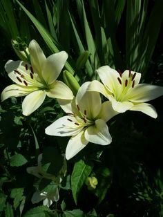 lilies asiaticum
