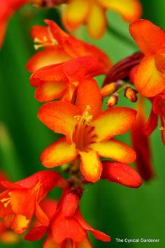 The Cynical Gardener Crocosmia, Garden Plants, Evergreen, Perennials, Planting Flowers, Seeds, Water, Gripe Water, Perennial