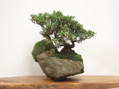 Bonsai on rock with moss- this would look amazing  on the living room table