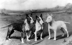 CH 'Raydium Brigadier' and his puppies. - See this image on Photobucket.