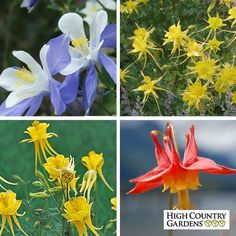 Aquilegia Collection:  4.8 Read 4 ReviewsWrite a Review Try several of our customer favorite Columbine varieties in this Aquilegia Collection. Perfect for shady gardens, you'll save $5 off the single plant price of $39.96. Buy three of the Aquilegia Collections and you'll have a complete shade garden.